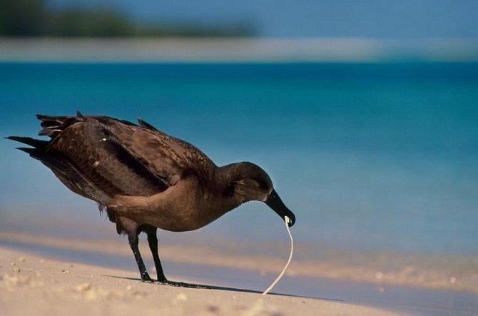 Albatros černonohý chroupá plastový odpadek na jednom ze severozápadních ostrůvků Havajského souostroví. Mořští ptáci hledají obživu voceánech a oceány jsou plné plastových odpadků.