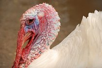 Krocan (Meleagris). Hlava a krk krocanů jsou holé.  Hrubá kůže na nich je modrá. Z brady a krku visí masité, červené laloky a i krk těchto ptáků je posetý masitými výrůstky. Zabarvení těchto holých čá