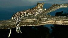 NAT GEO WILD: Nejlepší záběry divokých šelem. Intimní život levhartů, gepardů nebo pum