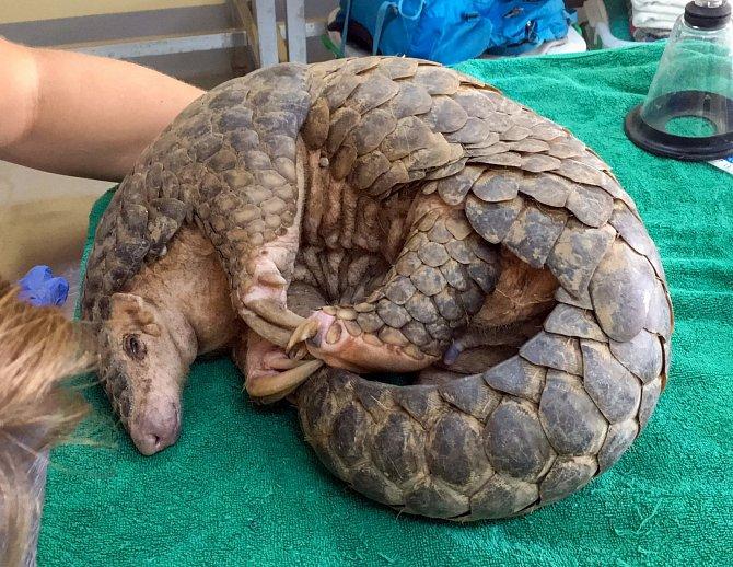 Samec luskouna krátkoocasého byl velmi dehydovaný a potřeboval okamžitou veterinární péči.