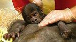 Gorila Bikira odmítla kojit mládě. Gorilátko půjde pryč