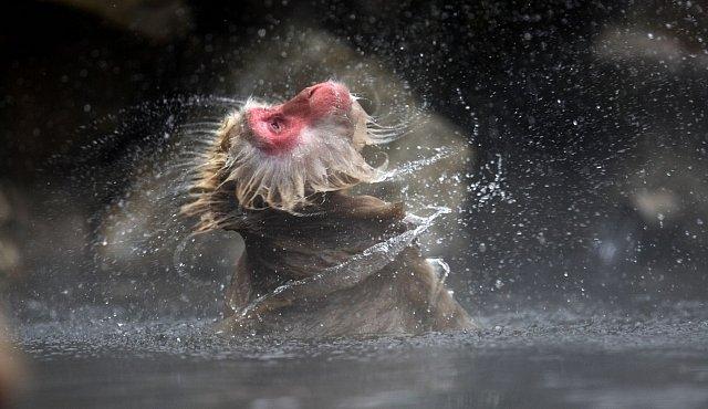 Opice se opičí po lidech. Milují termální prameny a horkou vodu