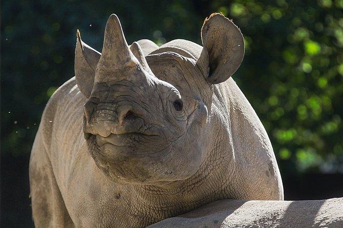 Východní poddruh nosorožce černého patří k nejvíce ohroženým savcům. Rozsáhlá pytlácká činnost na konci 20. století vedla k výraznému poklesu populace nosorožce černého v Africe. Dnes je jejich celosvětový počet odhadován na 800 zvířat.