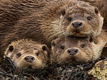 Na Shetlandských ostrovech matka se dvěma mladými samečky pozorně sleduje cvakání fotoaparátu.