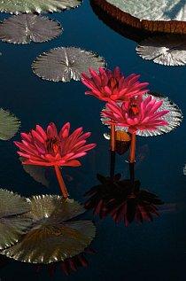 V Longwoodských zahradách v Pensylvánii upoutají v noci pozornost nádherné tropické lekníny. Květy se otevírají za soumraku a zavírají opět nazítří ráno.