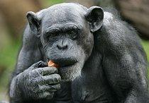 Šimpanz Fifi právě osalvil své šedesátiny. Dalších narozenin se už nedočkal. Patřil mezi nejstarší jedince v zajetí (Taronga Zoo, Austrálie).  FOTO: ČTK