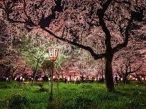 Na jaře je v Japonsku opravdovou událostí noční pozorování rozkvetlých sakur, například u šintoistické svatyně Hirano v Kjótu.