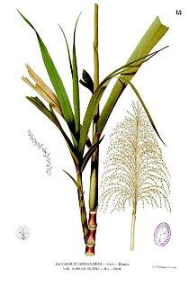 Takto vypadá celá rostlinka cukrové třtiny.
