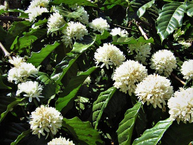 Kvetoucí kávovník