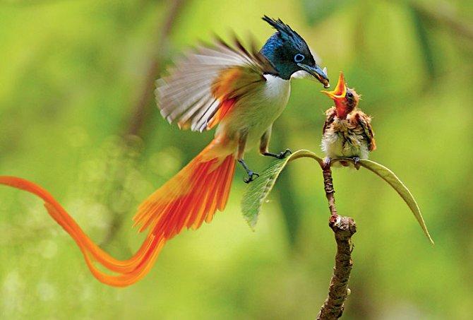 Lejskovec rajský krmí své mládě