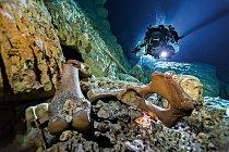 Kosti nejméně 26 živočichů zdoby ledové, například mastodonta druhu Gomphoterium (nahoře), leží na dně zatopené jeskyně Hoyo Negro, kde potápěči nalezli ostatky dívky pojmenované Naia. Vprůběhu jejího krátkého života byly tyto jeskyně většinou suché.