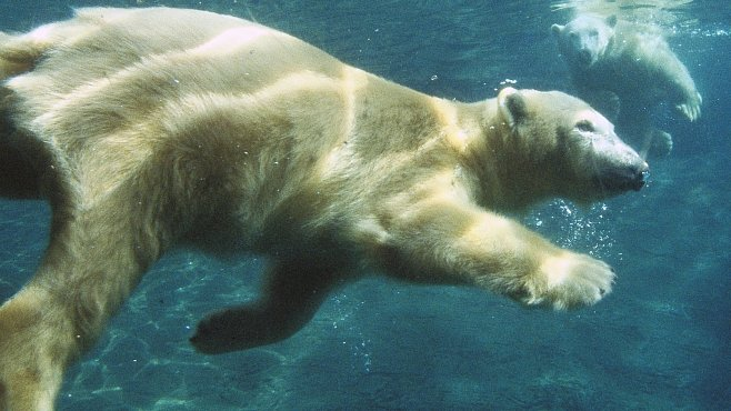 VIDEO: Lední medvěd použil nástroj, aby utekl ze zoo. Jak chytrá jsou zvířata?