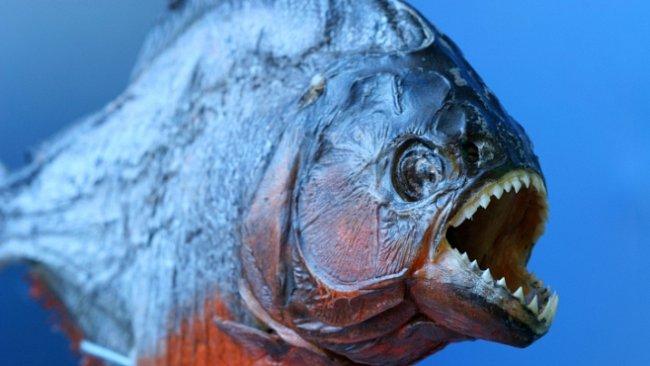 Piraně mají v poměru k velikosti těla silnější čelisti než tyranosauři