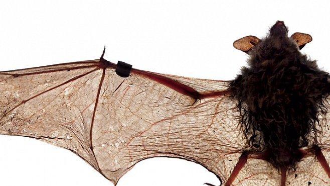 Genocida netopýrů