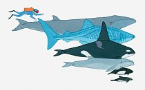 Illustration showing the size of Fin Whale, Whale Shark, Killer Whale, Pygmy Right Whale, Dall\'s Porpoise, Black Dolphin in comparison to a human being