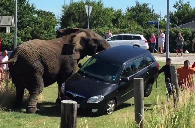 Slon demoluje auto
