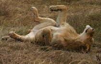 Lvi jsou velcí spáči - dokážou prospat většinu dne.