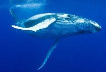 Keporkak je v USA zákonem chráněný a lodě se k němu nesmějí přiblížit na méně než 90 metrů.