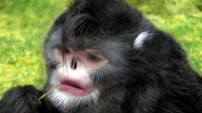 Opice s rozpláclým nosem: fotka tvora, o němž věda nevěděla