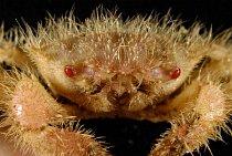 Chlupatý krab Trichopeltarion janetae byl objeven roku 2008.
