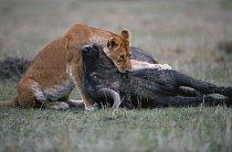 Lvice se svojí kořistí - buvolem. Lvice loví ve smečkách. Jejich kořistí se stávají hlavně větší savci jako jsou antilopy, pakoně, buvoli a zebry, ale také menší zvířata jako zajíci a ptáci.