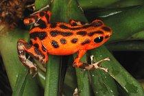 Samička jihoamerické žabky pralesničky drobné má neuvěřitelné orientační schopnosti. Musí je mít. Roznáší totiž pulce do drobných nádržek v paždí stromových bromélií. Každý z nich musí mít svůj vlastn