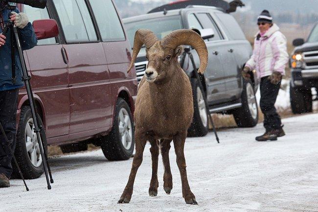 Když je zima a hlad, musí se zastavit i provoz poblíž města Jackson v americkém státě Wyoming…