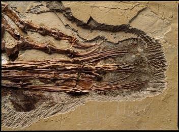 Detail zachycující ocasní část těla čínského dinosaura zobdobí spodní křídy, Sinornithosaurus millenii. Opeřený dromeosaurus byl příbuzný velociraptora a vocase měl zkostnatělé šlachy upevněné kobratlům nebo kpáteři.