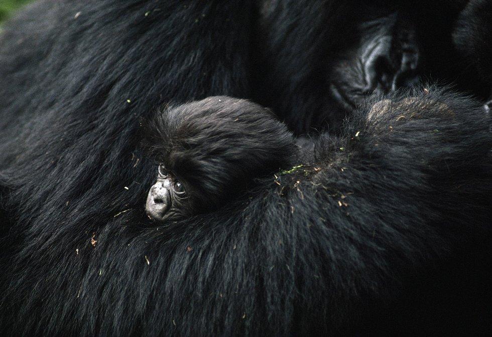 Gorilka v náručí