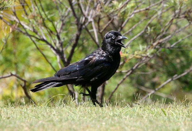 Vrána dokáže dostat ropuchu na záda, čímž se vyhne kontaktu se žlázami s jedem.