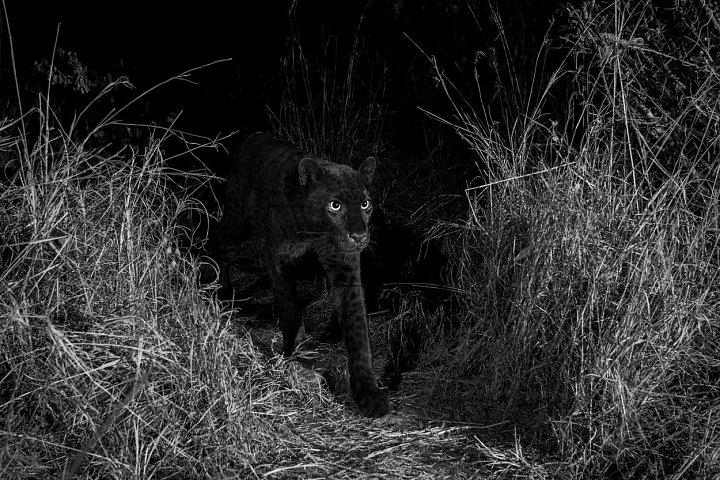 Poprvé od roku 1909 existuje důkaz, že v Africe žije vzácný černý leopard. V keňské rezervaci jej zachytila fotopast britského fotografa Willa Burrarda-Lucase. Zbarvení kočkovité šelmy je způsobeno nadprodukcí tmavého pigmentu melaninu v kůži a srsti.