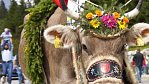 Po švýcarsku nazdobené krávy scházejí z Bertramky