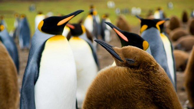 Souboj tučňáků a albatrosů o nadvládu. Vítejte na Falklandách
