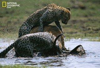 Gepard loví