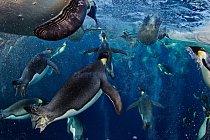 Tučňáci jsou dokonale přizpůsobení lovu a potápění ve vodě.