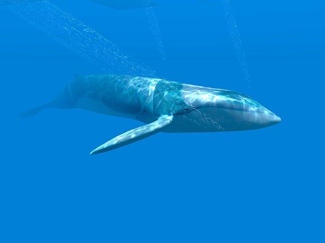 Plejtvák obrovský je schopný ve vodě vyvinout rychlost až 50 km v hodině.