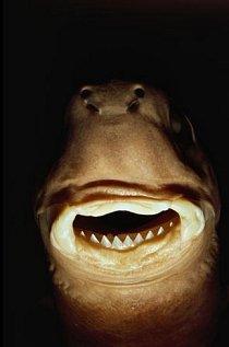 Muzeum v Honolulu, Havaj: Žraloček brazilský