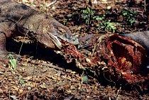 Nejčastější kořistí varanů jsou jeleni a divoká prasata, nepohrdnou však ani buvolem.