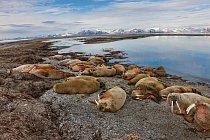 Skupina mrožích samců podřimuje nasouostroví Svalbard.