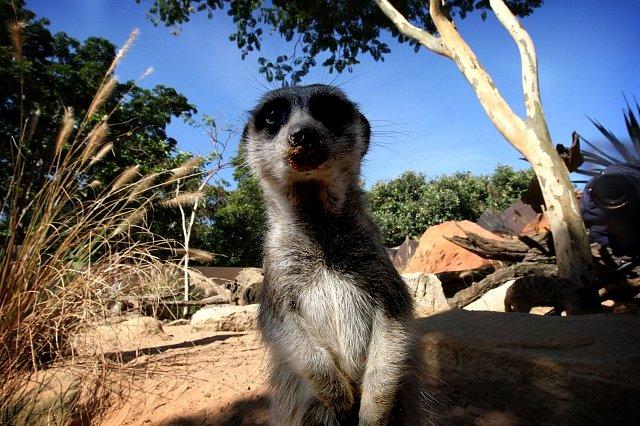 Léčka na zvědavé surikaty
