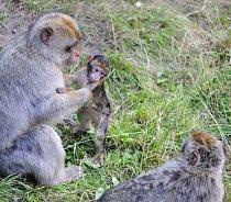 Podobně se o mladou generaci zajímají i někteří paviáni či makakové. Důvod je však trochu jiný –   Pečující mladíci tedy podle některých studií používají mláďata jako živé štíty proti agresi vůdců.