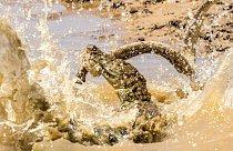 Krokodýl je však chytrý a mrštný predátor.