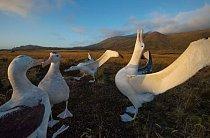 """Na západním břehu ostrova Marion se čtveřice albatrosů stěhovavých dala do rituálního tance. K sestavě zvuků a pohybů patří i """"zpívání k obloze"""" (na fotografii vpravo). Ptáci navazují partnerství na celý život a tanec jim pomáhá najít vhodného partnera."""
