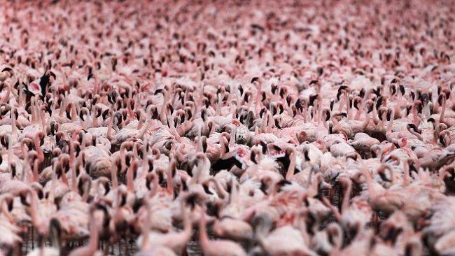 OBRAZEM: Ráj plameňáků v Keni obývají miliony ptáků