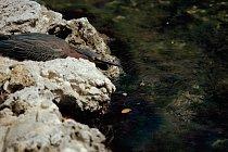 Volavka zelenavá hlídá hnízdo u rybníku.