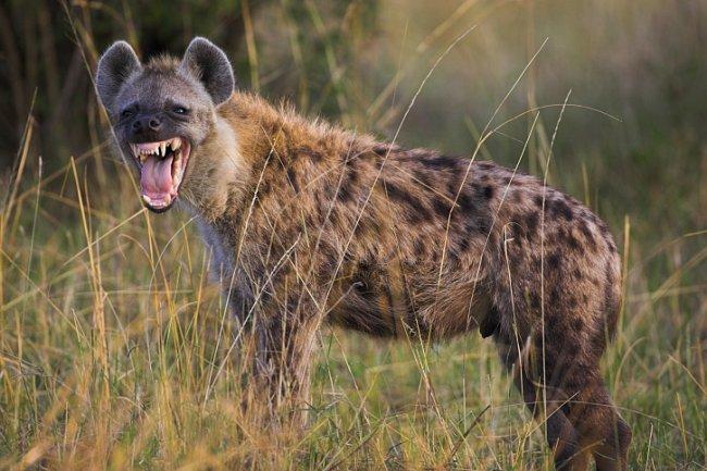 Hyeny skvrnité jsou na rozdíl hyen žíhaných a hnědých výbornými lovci.