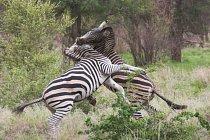 I něžné zebry se umí při bojích do soupeře pěkně zakousnout. Nejmírnější formou je přetlačovaná, kousání a kopání používají jako silnější zbraně.