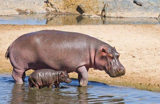 Novorozený hrošík váží mezi 25 a 50 kilogramy.