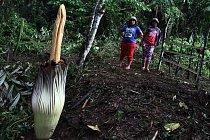 Září 2015: Na úpatí indonéské sopky Sinabung místní objevili květ zmijovce.
