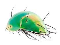 Silně obrnění roztoči zčeledi Scutacaridae využívají při hledání potravy kpohybu větší členovce (včetně jiných roztočů). Jakmile  se dostanou ke zdroji čerstvých hub a mikrobů, odpadnou.